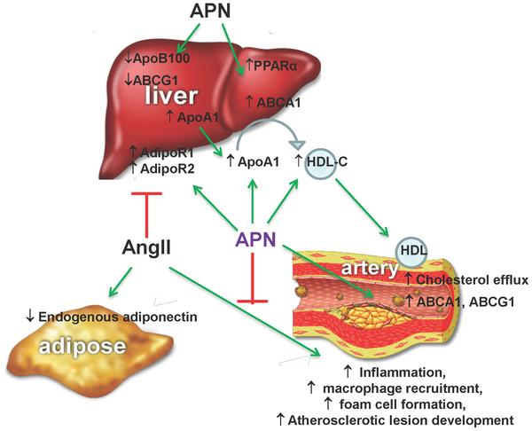 Адипонектин защищает от атеросклероза
