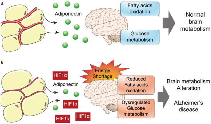 Адипонектин может увеличить риски болезни Альцгеймера