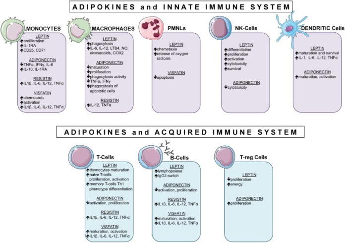Адипонектин при аутоиммунных заболеваниях