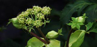 Растение Ашитаба (Angelica keiskei) и его полезные свойства