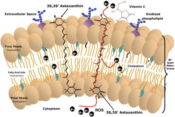 Астаксантин способен снижать окислительный стресс