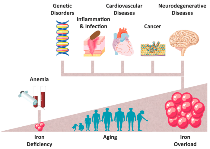 Ферритин уменьшает накопление железа тканями при различных заболеваниях