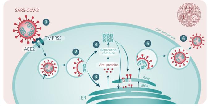 Цикл репликации SARS-CoV-2