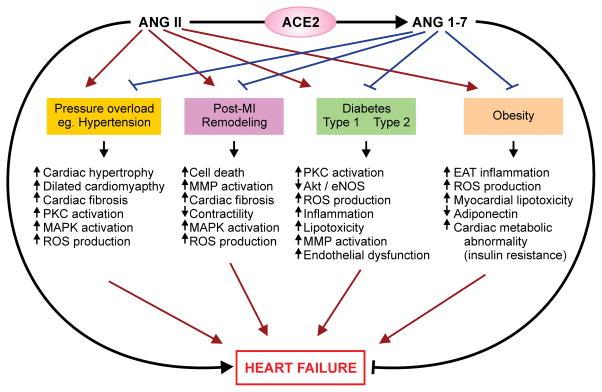 Ингибиторы АПФ улучшают возможность ACE2 снижать риски сердечной недостаточности