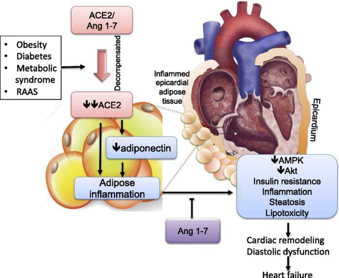 Ингибиторы АПФ увеличивают уровень ACE2 и помогают в предотвращении ожирения сердца