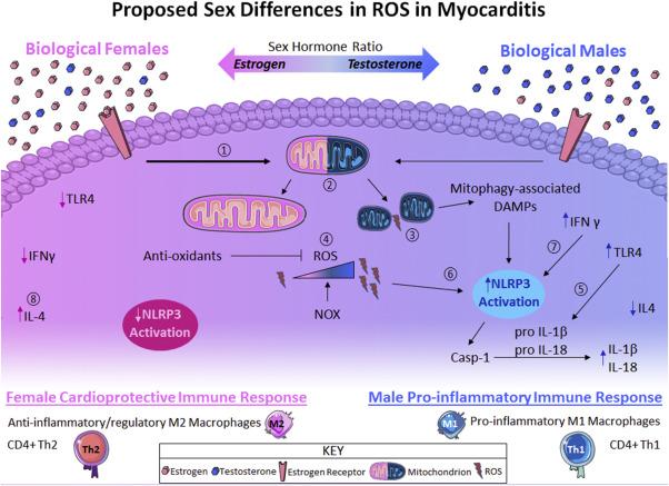 Тестостерон оказывает влияние на иммунный ответ организма