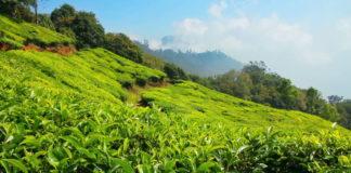 Горная плантация зеленого чая