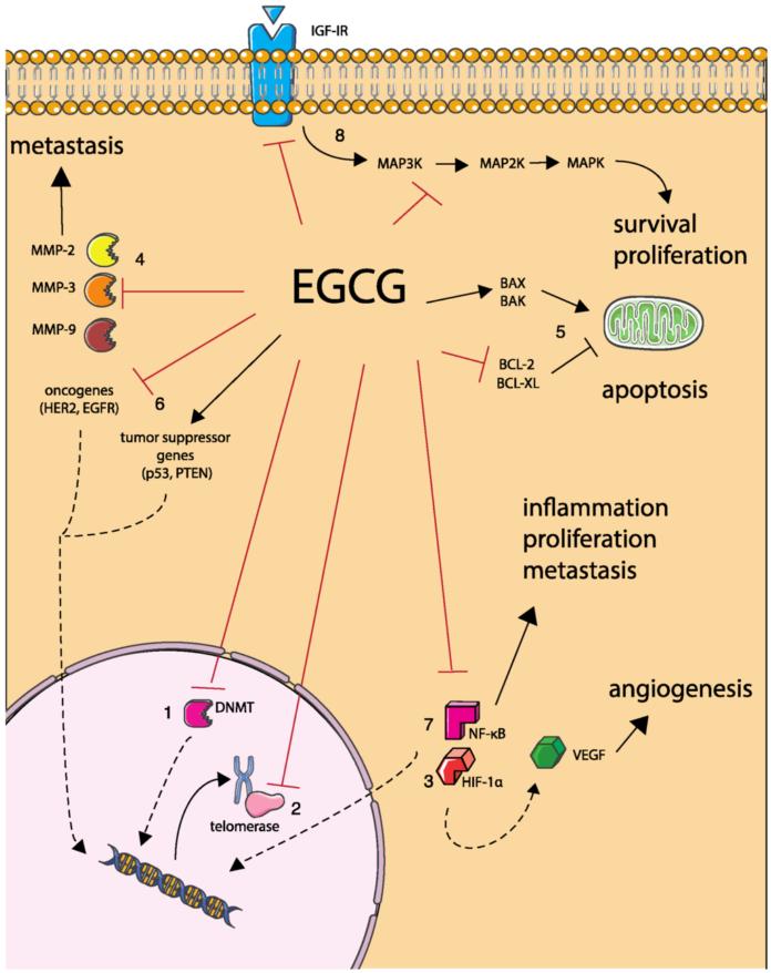 Катехин EGCG зеленого чая оказывает влияние на механизмы развития рака