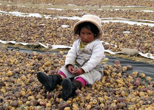 Мака перуанская выращивается в Андах Перу