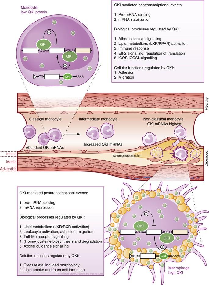 Моноциты становятся макрофанами