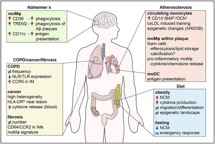 Моноциты принимают участие в большинстве воспалительных заболеваний