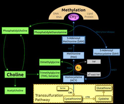 Цикл метилирования холина