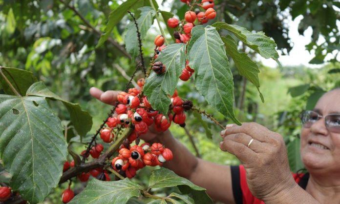 Гуарану выращивают в Бразилии