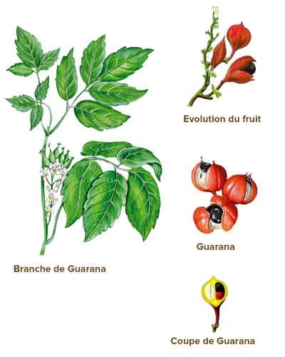 Гуарана и её плоды