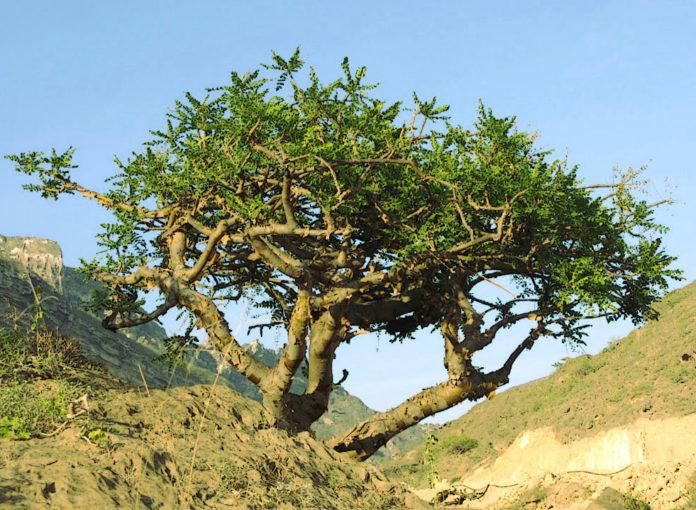 Йохимбе - дерево, из коры которого получают алкалоид йохимбин