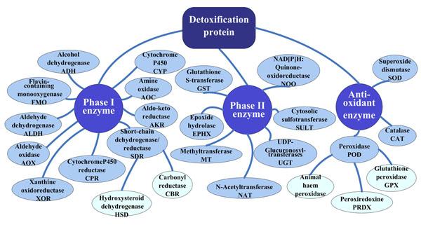 В детоксикации участвует множество ферментов