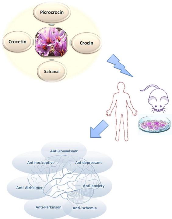 Шафран полезен для здоровья головного мозга