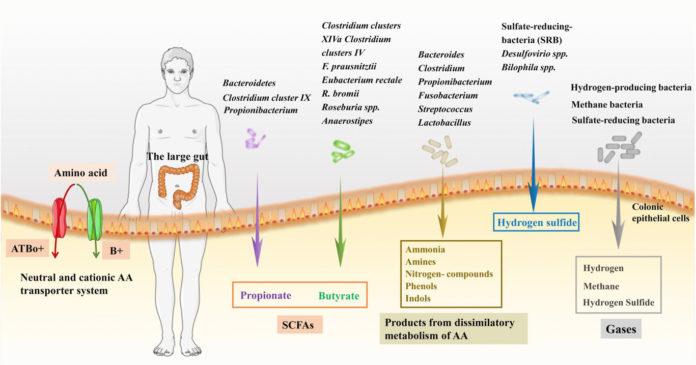 Микрофлора и метаболизм аминокислот в толстом кишечнике