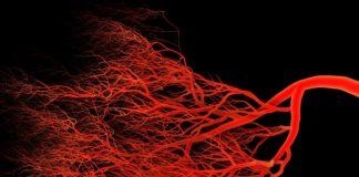 Менопауза ухудшает рост и обновление капилляров в мышцах