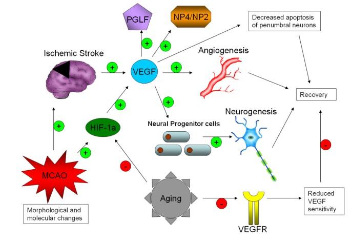 Менопауза, как и старение, снижает восприимчивость эндотелия сосудов к факторам роста