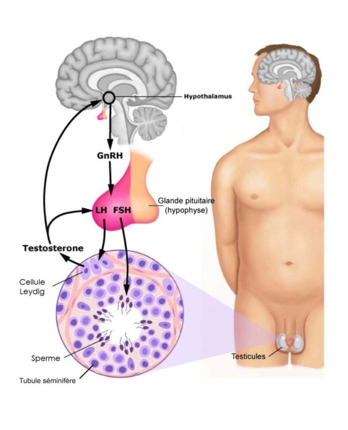 Схема выработки тестостерона и спермы