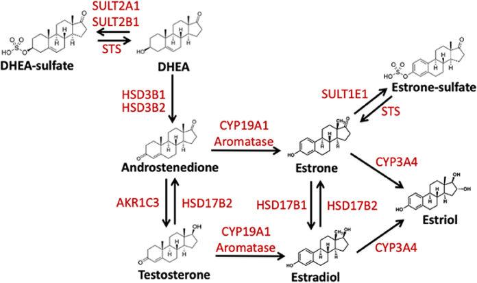 Участие гена CYP19A1 в превращении тестостерона в эстроген