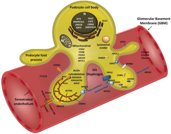 Гены, связанные со работой подоцитов почек.