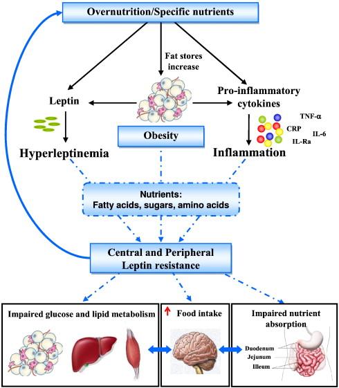Схема развития резистентности к лептину
