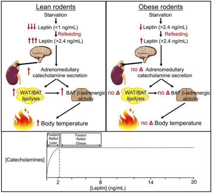 Резистентность к лептину нарушает терморегуляцию при приеме пищи