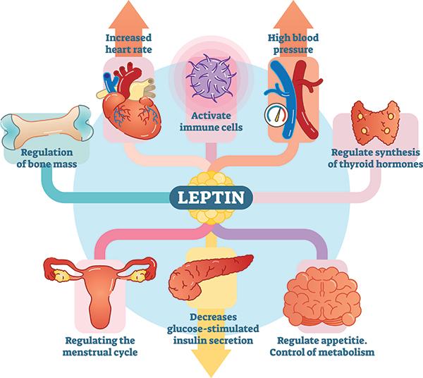 Влияние лептина на различные органы тела