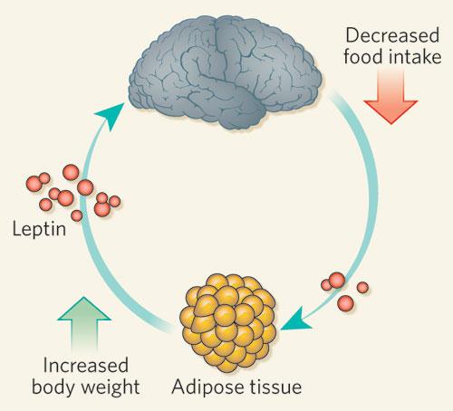 Лептин растет при увеличении количества жировых клеток