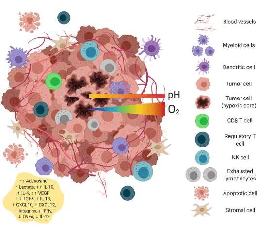 CD8+ в микроокружении опухоли