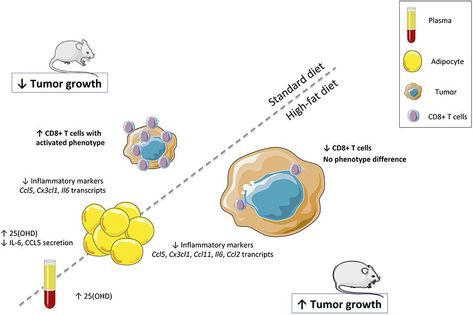 CD8+ клетки проникают в опухоль с помощью витамина D