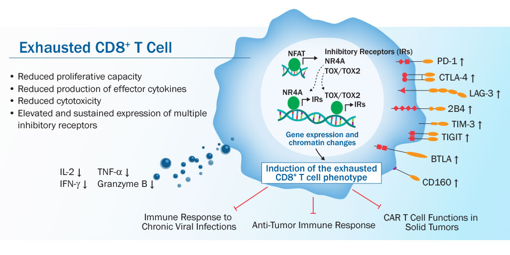 CD8+ истощение при раке