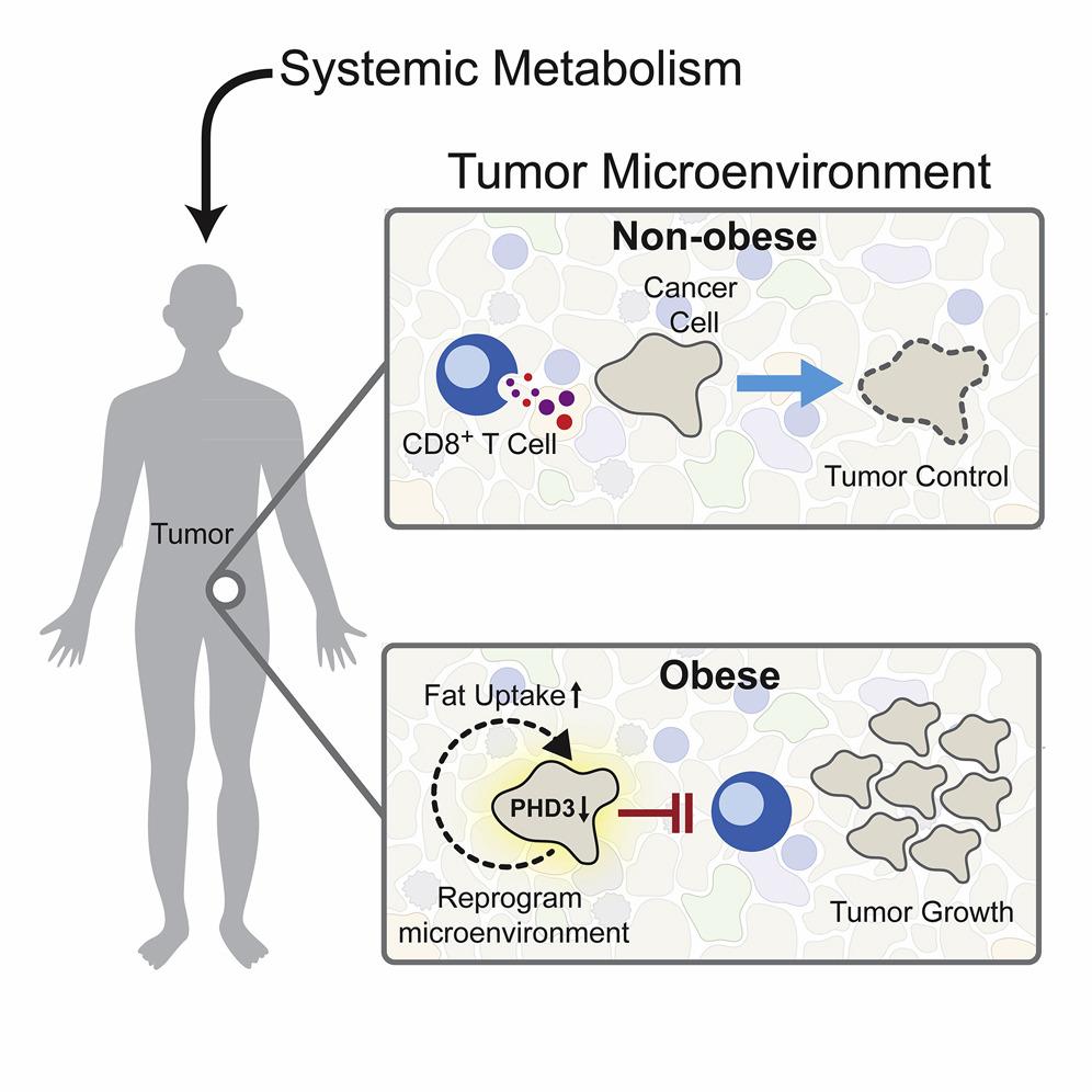 CD8+ клетки реагируют на жир в питании
