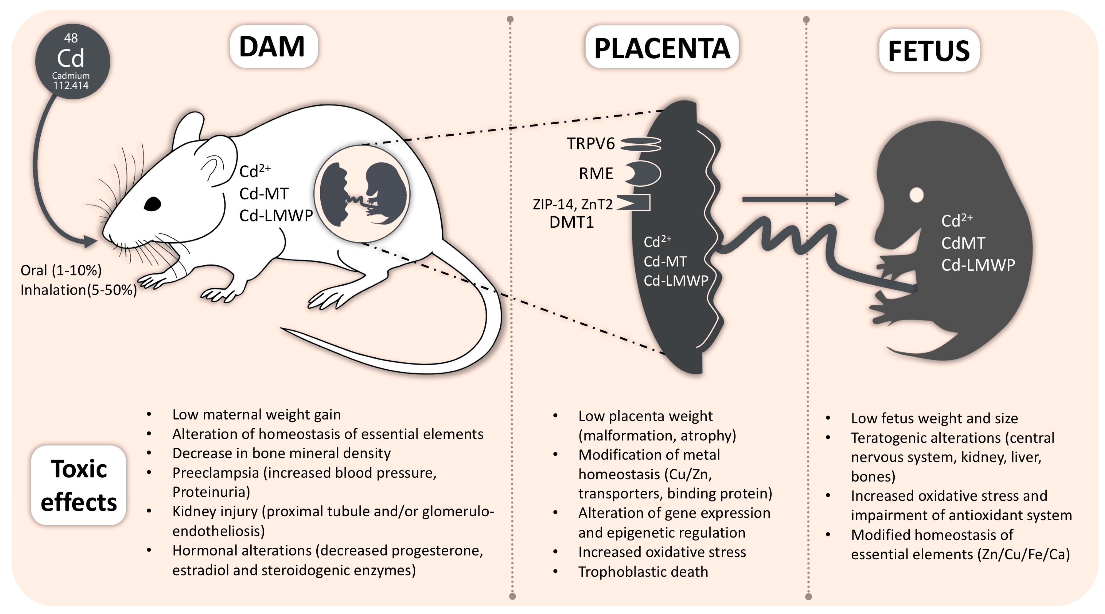 Кадмий токсичен при беременности