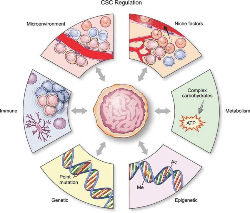 Стволовые раковые клетки