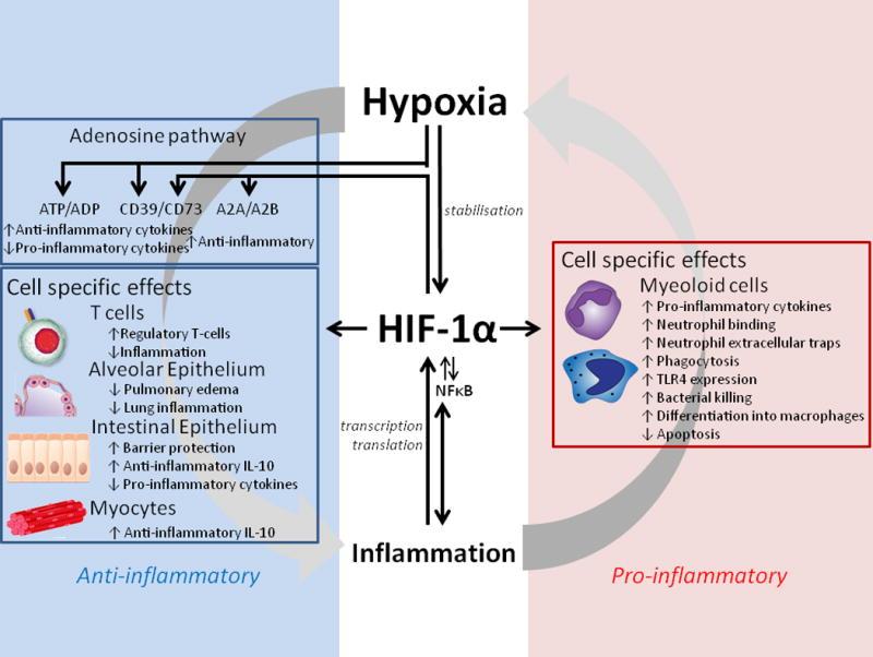 HIF1A участвует в формировании воспаления при гипоксии