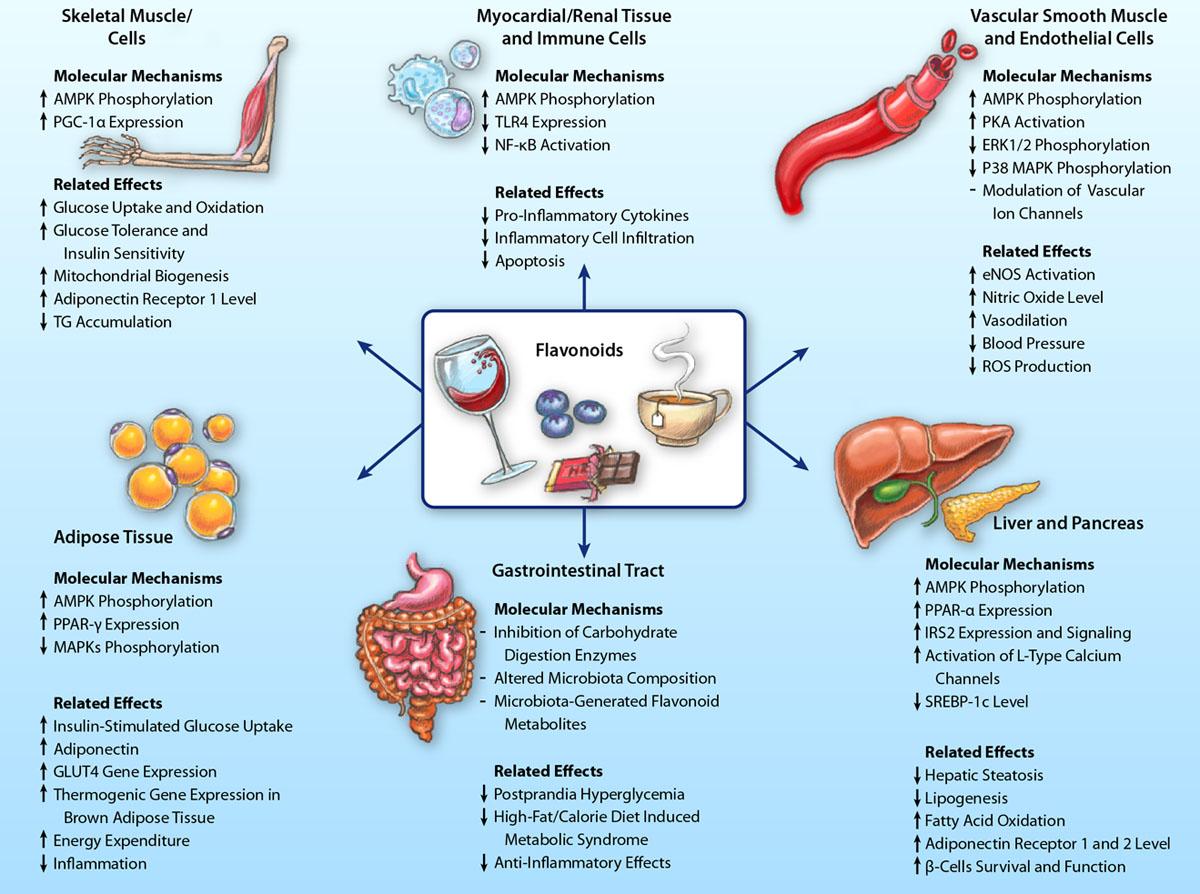 Польза флавоноидов для сердечно-сосудистой системы