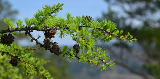 Дигидрокверцетин из Сибирской лиственницы