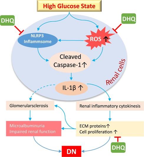 Дигидрокверцетин способен помогать при диабетической нефропатии