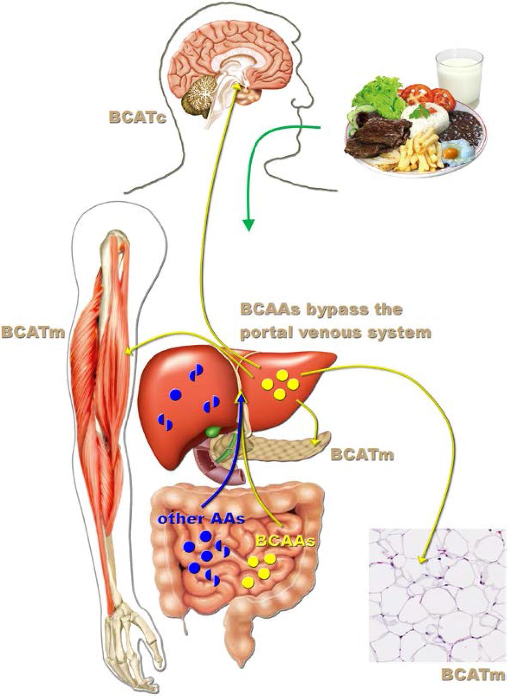 Лейцин оказывает влияние на различные органы тела