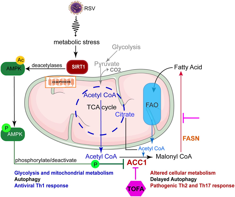 Ресвератрол через ген SIRT1 борется против коронавируса
