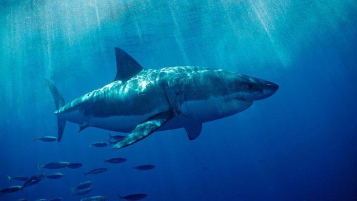 Сквален из акулы