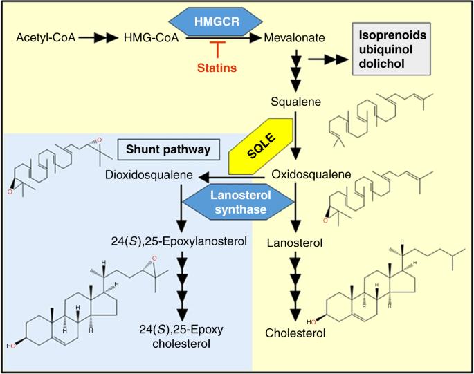 Сквален участвует в производстве холестерина