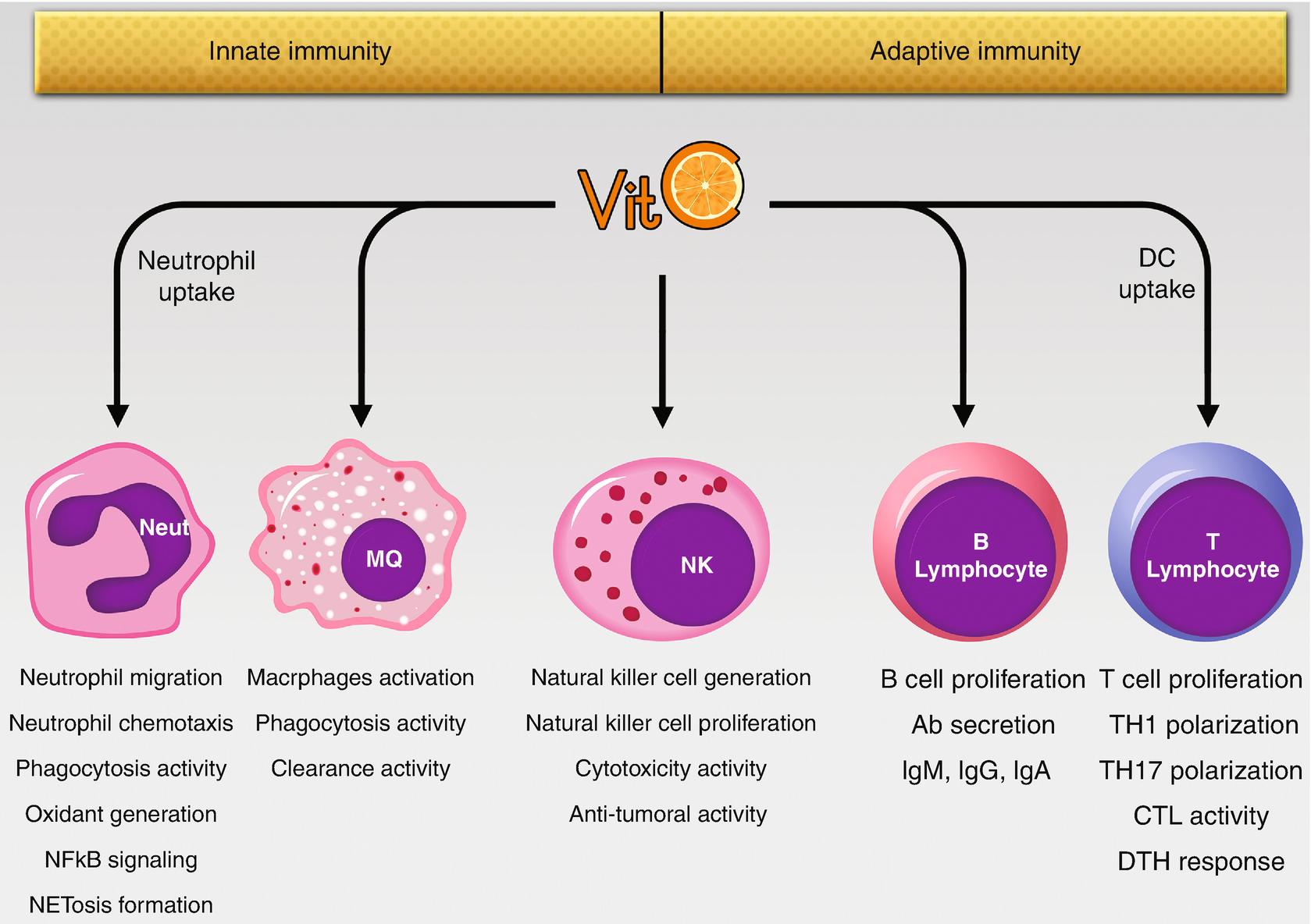 Витамин С оказывает разностороннее влияние на иммуннитет