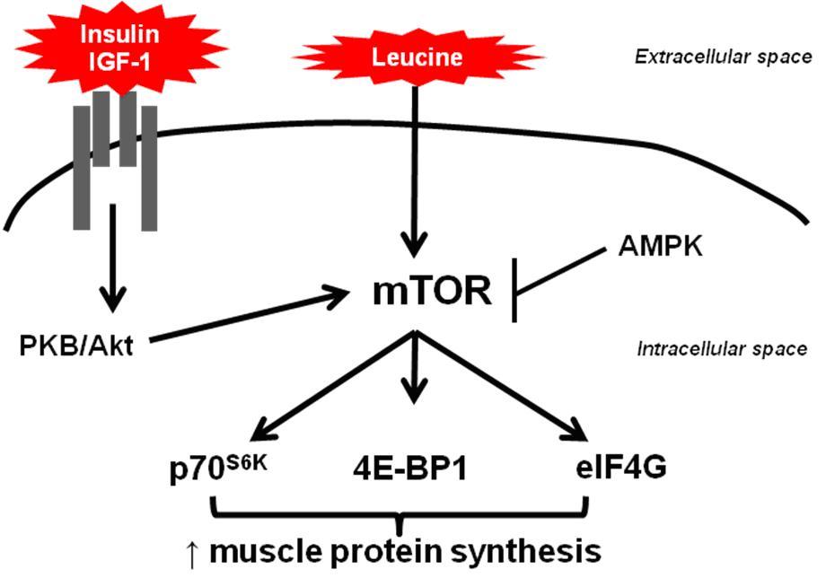 Лейцин участвует в синтезе мышечного белка