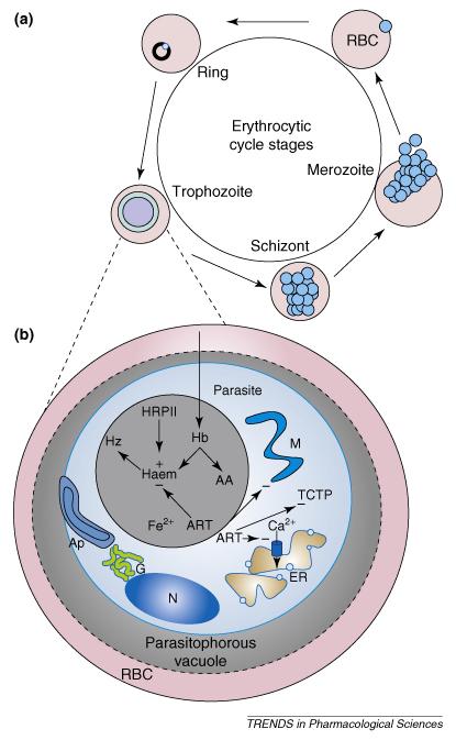 Артемизинин подавляет паразита малярии