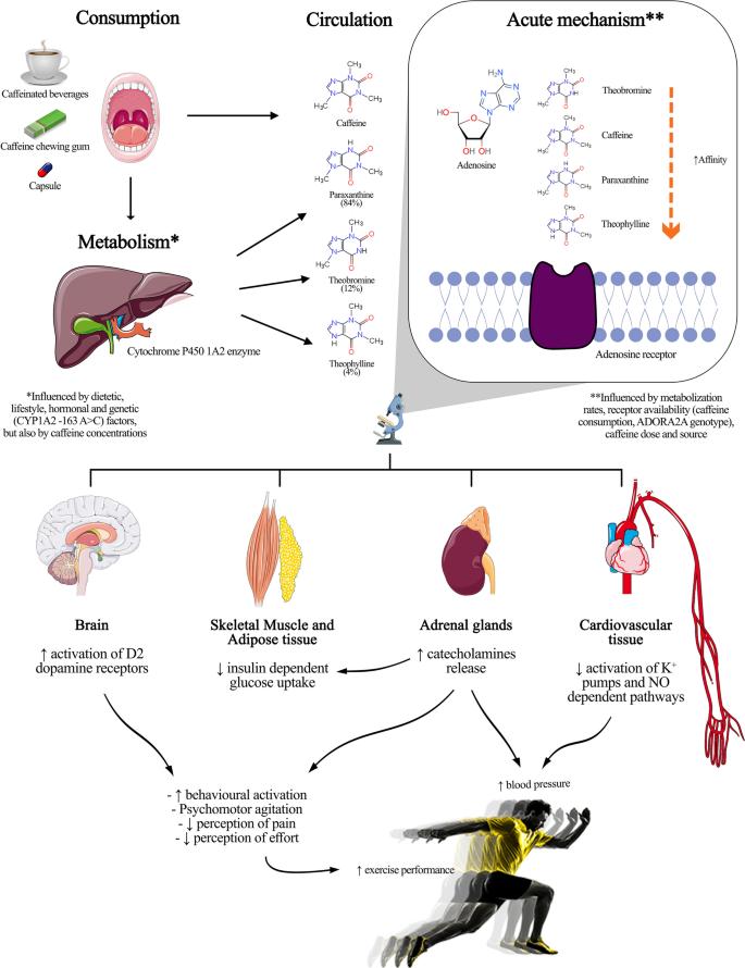 CYP1A2 влияет на метаболизм кофеина
