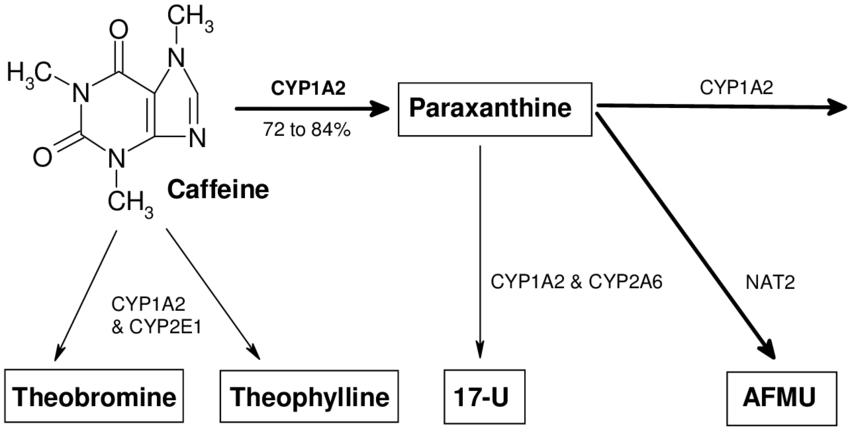 CYP1A2 в метаболизме кофеина